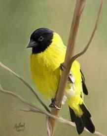 Yellow Bird - pic bird
